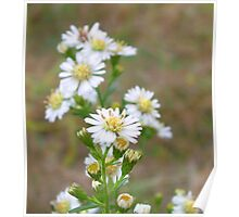 Wildflower Daisies Poster