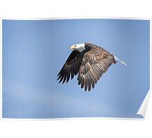 American Bald Eagle 2015-15 Poster