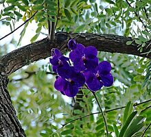 Vanda In Purple by Debbie Oppermann