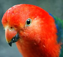"King Parrot ""Alisterus scapularis"" - Marysville, Victoria by Rosie Appleton"
