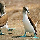 Blue Footed Booby Bird Dance, Isla de la Plata, Ecuador by Paris Lee
