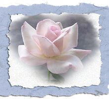 Sheer Bliss rose with frame by Nanagahma