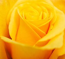 The Yellow Rose by Trudi Skinn