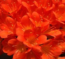 Clivia on Fire by Gloria Abbey