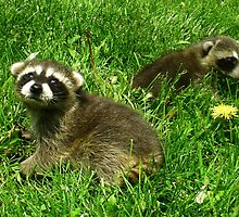 Baby Raccoons by Wild For Ever