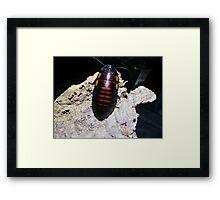 Flat Horn Hisser Roach  Framed Print