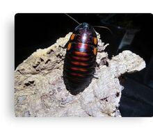 Flat Horn Hisser Roach  Canvas Print