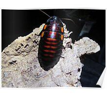 Flat Horn Hisser Roach  Poster