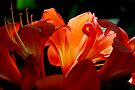orange passion by Anthony Mancuso