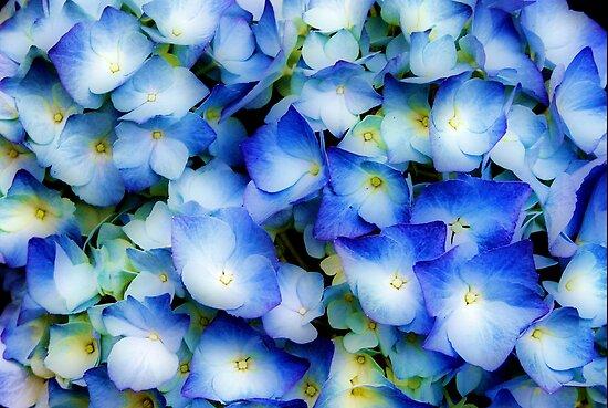 Hydrangea in Blue by Jo Nijenhuis