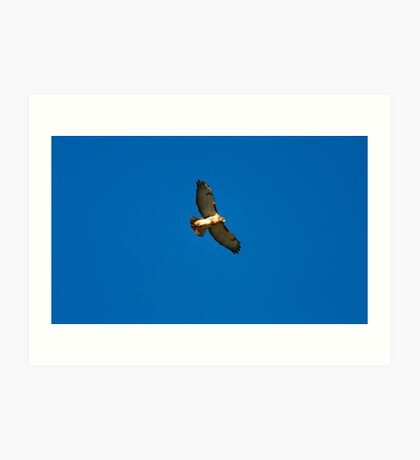 Soar Of The Red Tail Art Print