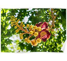 Cannonball Tree Flower (Couroupita guianensis ) Poster