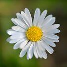 Daisy by Kasia Nowak