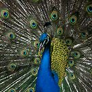 Peacock by ©FoxfireGallery / FloorOne Photography
