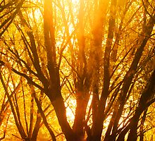 Backlit Tree - Autumn Gold by Ryan Houston