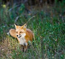 Fox in the Spotlight by Jay Ryser