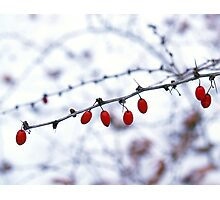 Barberry on Snowy Day Photographic Print