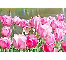 Pink tulips at the Keukenhof - Netherlands Photographic Print