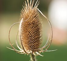 Teasel by Gerry Curry