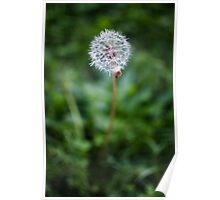 Taraxacum - Dandelion Poster