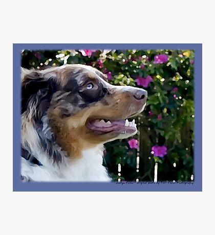 Australian Shepherd Apr Photographic Print