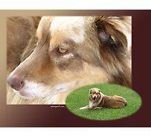 Australian Shepherd  May Photographic Print