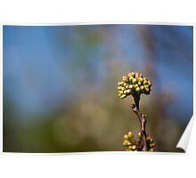 Plum Flower Bud Poster