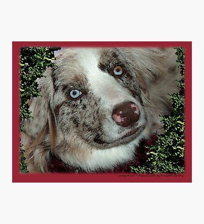 Australian Shepherd Dec Photographic Print