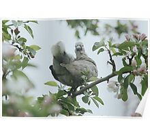 Baby collar dove in apple blossom Poster