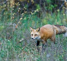 Fox Stalking by Jay Ryser