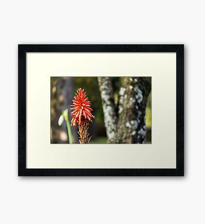 Red Hot Poker (Kniphofia) Framed Print