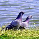 Two Pigeons By The Water by R&PChristianDesign &Photography
