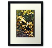 """Maple Leafs In The Afternoon Sun"" Framed Print"