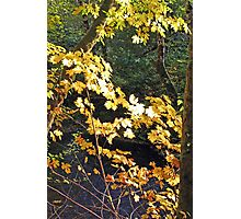 """""""Maple Leafs In The Afternoon Sun"""" Photographic Print"""