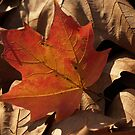 Sugar Maple Leaf  backlit in Dry Leaves by Anna Lisa Yoder