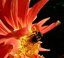 Bumbled Dahlia by Fotography by Felisa ~