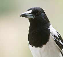 Pied Butcherbird by David de Groot
