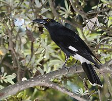 Pied Currawong by David de Groot