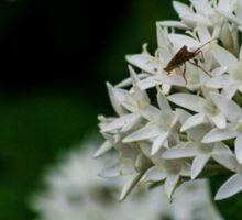 White Santan (Ixora coccinea Linn) Sticker