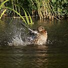 Splash bath for a mallard hen by MooseMan