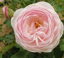 David Austin Rose by CapturedByKylie