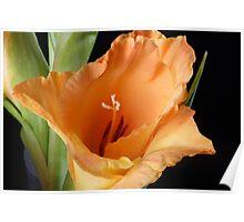 Bellezza Gladiolus Poster