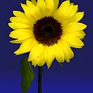 Sunflower on Blue by Marsha Tudor