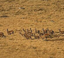 Red Deer Herd by kernuak