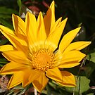 Yellow Gazania Flower by Pamela Jayne Smith