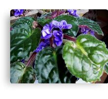 African Violet Study Canvas Print