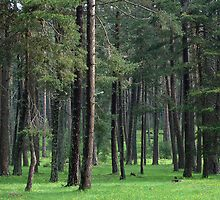 forest by nadir