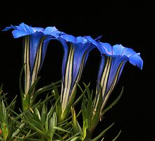 Electric Blue ......... by godders