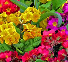 Primulas by Tom Gomez