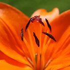 Orange Lily by Claire Williams